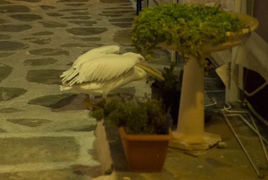 10 - Le fameux Pélican de Mykonos